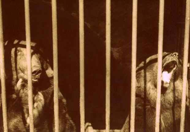 Burg Schnellenberg historisch: Bären im Tierpark