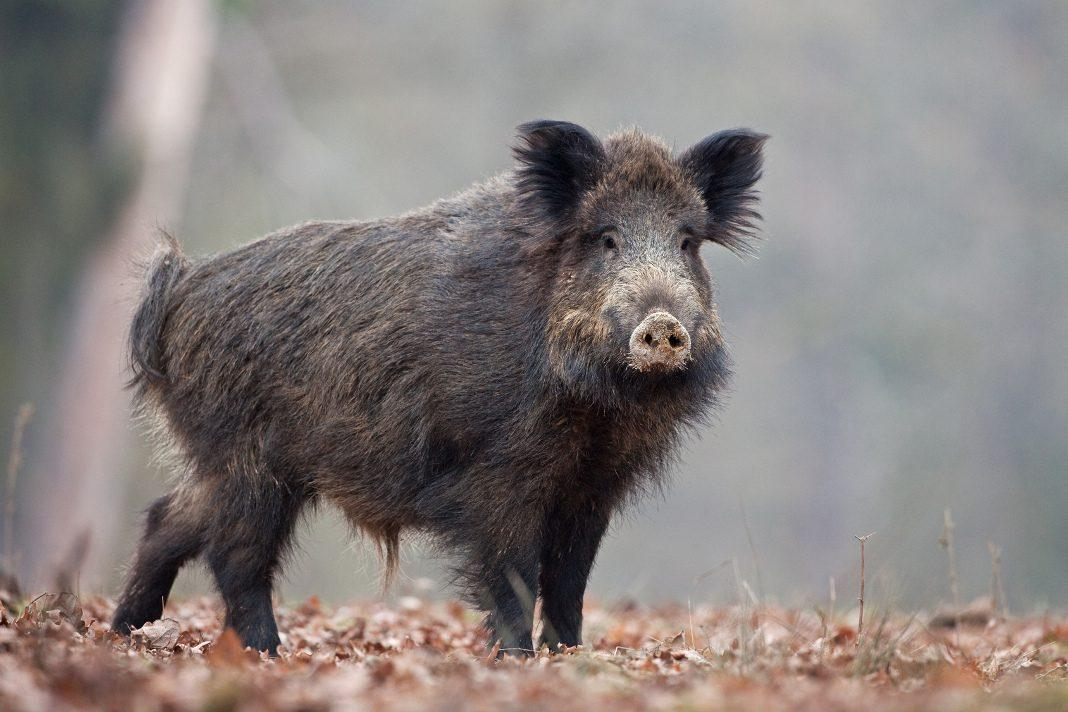 attendorner geschichten - wildschwein