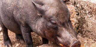attendorner geschichten - schwein