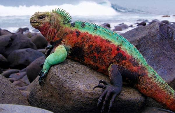 marine iguana fernandina