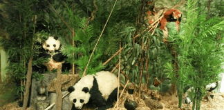 Panda - Südsauerlandmuseum Attendorn